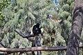 Mono araña (Ateles geoffrogy)3.jpg