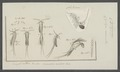 Monoculus minutus - - Print - Iconographia Zoologica - Special Collections University of Amsterdam - UBAINV0274 100 02 0008.tif