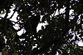 Monos aulladores Isla Ometepe.JPG