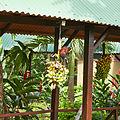 Montezuma oropendola-IMG 0844.JPG