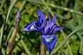 Moraea sisyrinchium, Crete 04(js).jpg