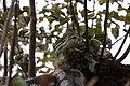 Morelia spilota variegata-2.jpg