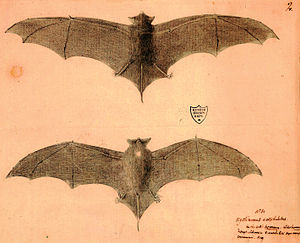 Natal free-tailed bat - Type illustration by Paul Jossigny from 1770