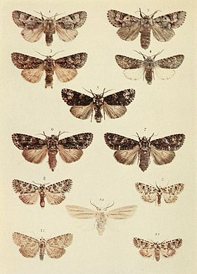 Moths of the British Isles Plate103.jpg