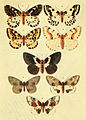 Moths of the British Isles Series2 Plate104.jpg