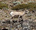Mountain Sheep 2 (8044138554).jpg