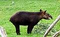 Mountain Tapir.jpg