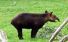 tapir penis størrelse