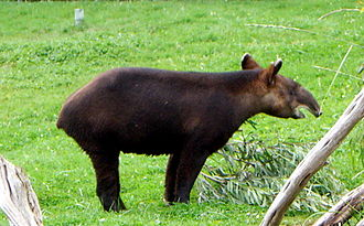 Tapir - A mountain tapir, the woolliest and most threatened species of tapir