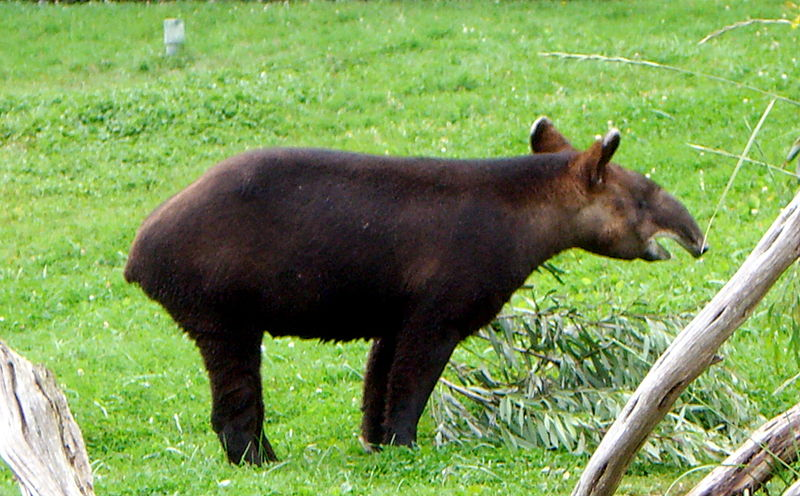File:Mountain Tapir.jpg