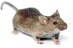Mouse white background.jpg
