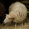 Mouton d'Ouessant 180508 2.jpg