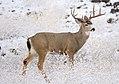 Mule deer buck (Odocoileus hemionus), Little Shasta, Siskiyou County CA (24178985295).jpg