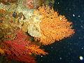 Multicolour sea fan at Omega Reef P6237982.JPG