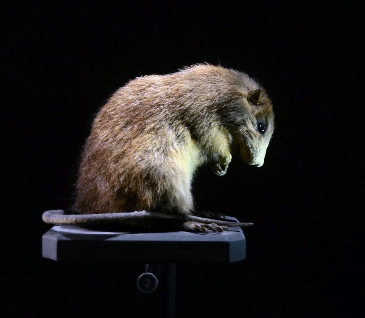 Megalomys luciae - Wikipedia