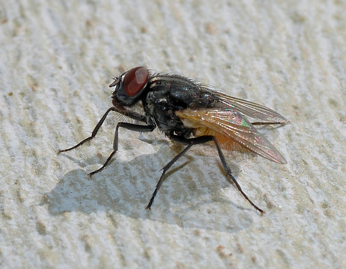 Mosca zoologia wikiquote for Domestica in svizzera