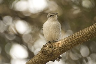 Ashy flycatcher species of bird