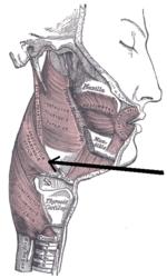 Musculusconstrictorpharyngismedius.png