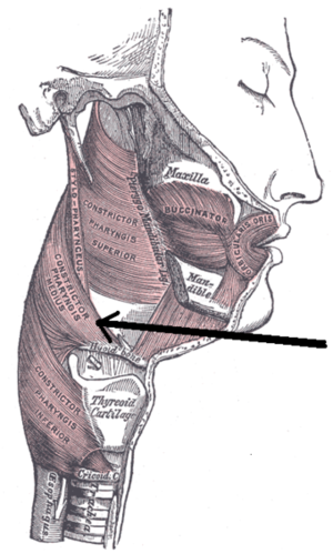 Middle pharyngeal constrictor muscle - Muscles of the pharynx and cheek (middle pharyngeal constrictor muscle labeled as constrictor pharyngis medius at center left)