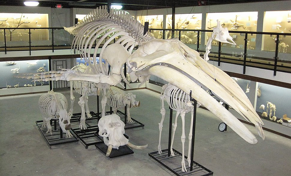 Museum of osteology 3 2010