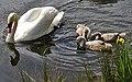 Mute.swan.cygnets.750pix.jpg