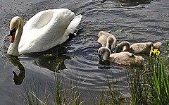 https://upload.wikimedia.org/wikipedia/commons/thumb/8/8f/Mute.swan.cygnets.750pix.jpg/240px-Mute.swan.cygnets.750pix.jpg