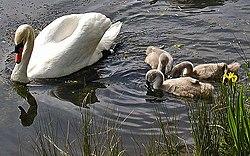 Knopsvane med unger.Foto: Adrian Pingstone, 2003