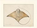 Myliobatis spec. - onderaanzicht - 1769 - Print - Iconographia Zoologica - Special Collections University of Amsterdam - UBA01 IZAA100051.tif