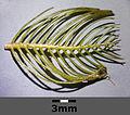 Myriophyllum spicatum sl5.jpg