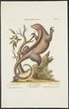 Myrmecophaga didactyla - 1700-1880 - Print - Iconographia Zoologica - Special Collections University of Amsterdam - UBA01 IZ21000045.tif