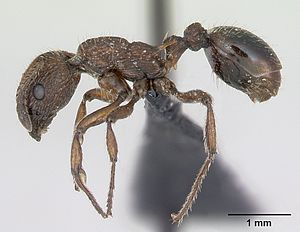 Präparierte M. scabrinodis-Arbeiterin in lateraler Ansicht