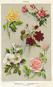Rose fleur wikip dia for Bouquet de fleurs wiki