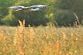 NSG 2168 Nußlocher Wiesen-Storch.jpg