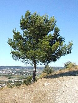 Nages Oppidum Roque de Viou 3972.JPG