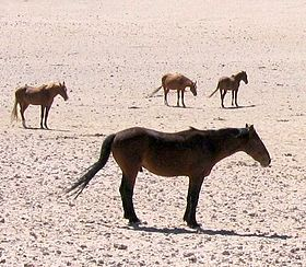 Image illustrative de l'article Cheval de Namibie
