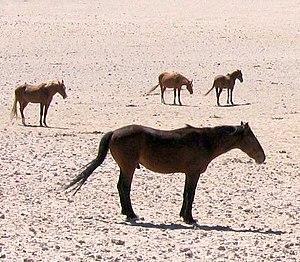 Namibwildpferde.jpg