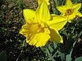 Narcis (3).jpg