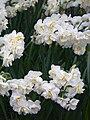 Narcissus (Sir Winston Churchill cultivar), Real Jardín Botánico, Madrid.jpg