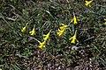 Narcissus minor GotBot 2015 001.jpg