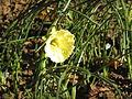 Narcissus romieuxii4.jpg