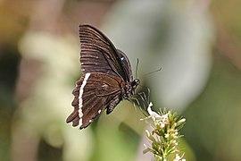 Narrow-banded green swallowtail (Papilio nireus pseudonireus) underside.jpg