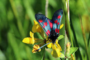 Narrow-bordered five-spot burnet moth (Zygaena lonicerae).jpg
