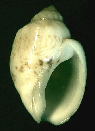 Nassarius - Image: Nassarius dorri 002