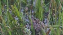File:Natterjack Toads calling.ogv