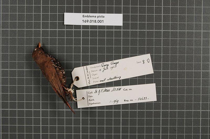 File:Naturalis Biodiversity Center - RMNH.AVES.54623 1 - Emblema picta Gould, 1842 - Estrildidae - bird skin specimen.jpeg