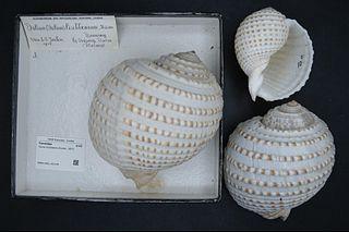 <i>Tonna lischkeana</i> Species of gastropod