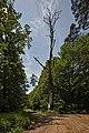 Naturdenkmal Große Eiche, Kennung 82350800003, Landschaftsschutzgebiet Nagoldtal, Kennung 2.35.037,Wildberg, von Nordosten.jpg