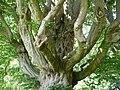 Naturdenkmal Hainbuche Döhren Melle -Unterm Baum- Datei 10.jpg