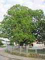 Naturdenkmal Sommerlinde 1.JPG