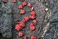 Nectria cinnabarina 98529589.jpg